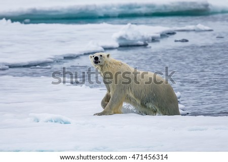 Polar bear growls as he crawls out of water in Arctic near Spitsbergen