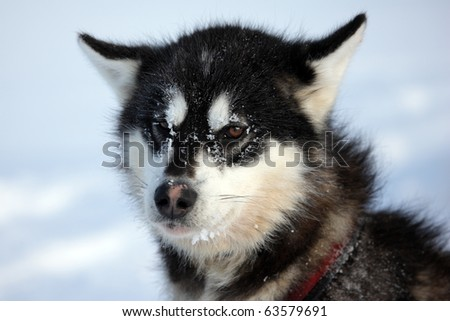 polarbearhunting sled dog on winter pack stock photo. Black Bedroom Furniture Sets. Home Design Ideas