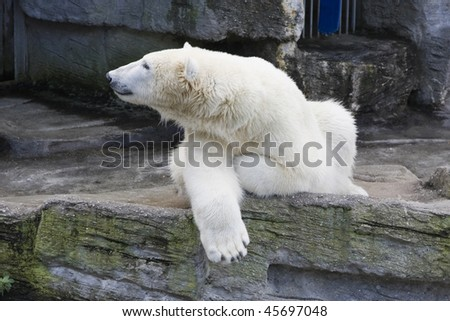 Polar bear in a zoo.