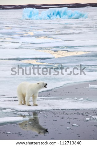 Polar bear in natural environment - stock photo