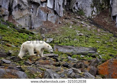 Polar bear in summer Arctic - Franz Josef Land - stock photo
