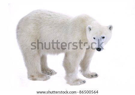 Polar Bear isolated on the white background.