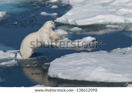 Polar bear jumping between ice floats in Svalbard Norway in the Arctic.