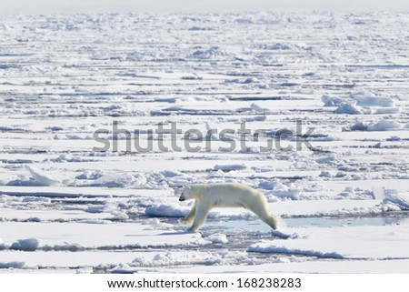 Polar bear jumping photographed in the Svalbard