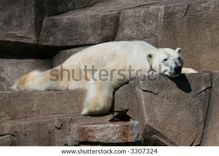 Polar bear laying flat out on his stomach on top of a rock - stock photo