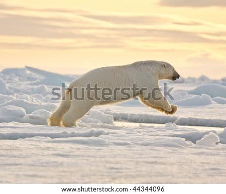 Polar bear leaping in the snow.  Horizontally framed shot. - stock photo