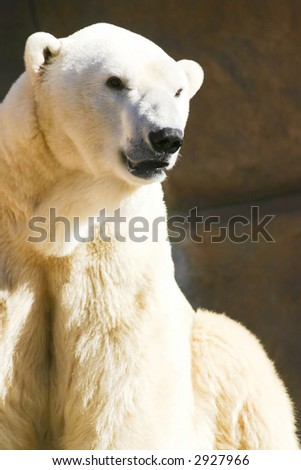 Polar Bear Looking - stock photo
