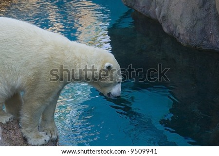 Polar bear looking into the water for a fish