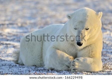 Polar bear lying at tundra. - stock photo