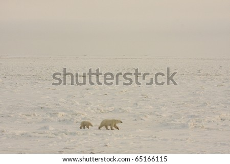 Polar bear mother and cub walking in the arctic in search of food near Hudson Bay.  The expanse of the frozen tundra is shown. - stock photo
