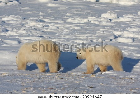 Polar bear mother and cub walking on the arctic snow pack - stock photo