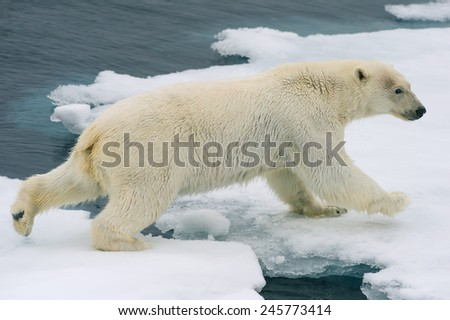 polar bear moves across ice floes in arctic ocean - stock photo