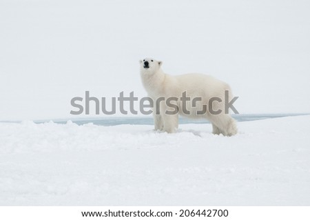 Polar bear north of Spitsbergen (Svalbard) close to the North Pole Norway - stock photo