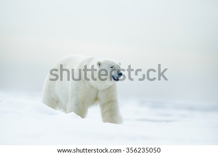 Polar bear on drift ice with snow, blurred nice yellow and blue sky  in background, white animal in the nature habitat, Russia - stock photo