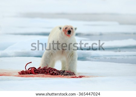 Polar bear on drift ice with snow feeding bloody kill seal, skeleton and blood, Svalbard, Norway, white big animal in the nature habitat, food in the ice  - stock photo