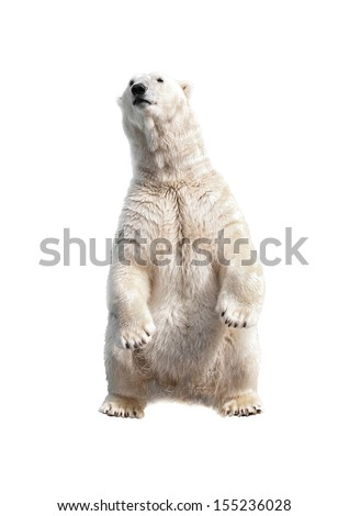 Polar bear on his hind legs isolated on a white - stock photo