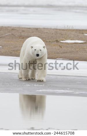Polar Bear on Ice at Hudson Bay Canada - stock photo
