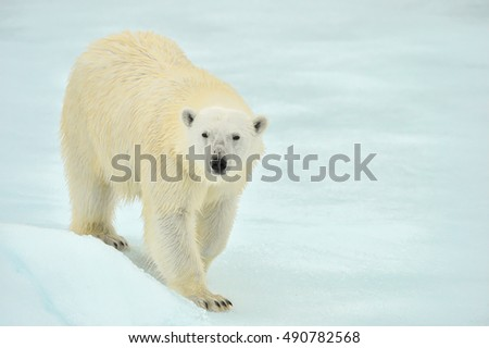 polar bear on ice floe in arctic ocean above norway's svalbard islands with clean snowy background