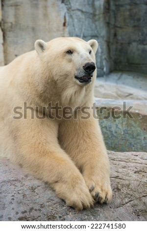 Polar bear on rocks. - stock photo