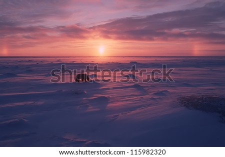 Polar bear on the Arctic tundra at sunset - stock photo