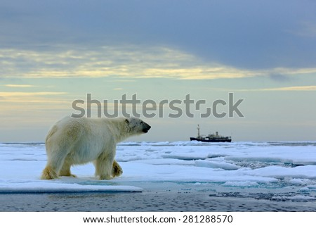 Polar bear on the drift ice with snow, blurred cruise vessel in background, Svalbard, Norway - stock photo