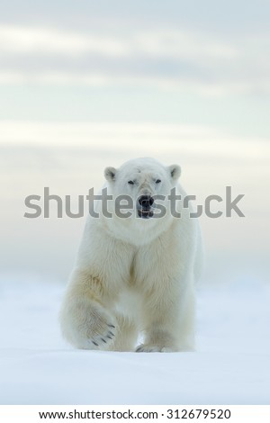 Polar bear on the ice and snow in Svalbard, dangerous looking  - stock photo