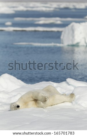 Polar bear photographed in the Svalbard islands, Norway