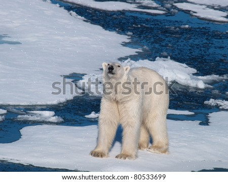 Polar Bear picking up smell