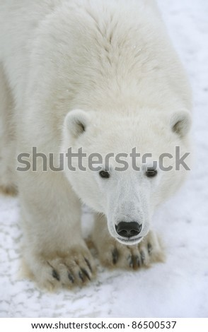 Polar Bear Portrait close up. - stock photo