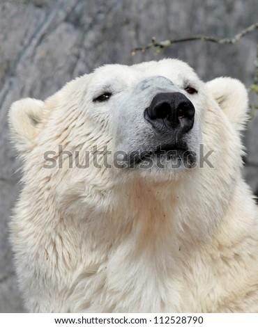 Polar bear portrait. ( Ursus maritimus ) - stock photo