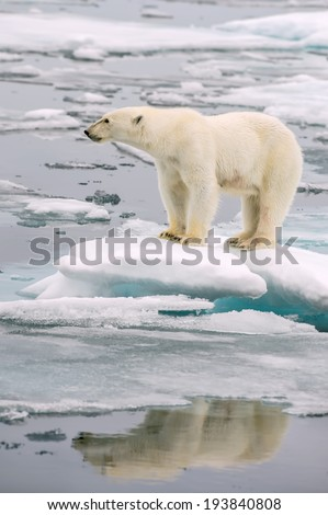 polar bear poses on melting ice floe in arctic sea, with reflection in water - stock photo