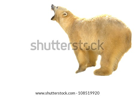 polar bear prepearing for fight isolated on white - stock photo