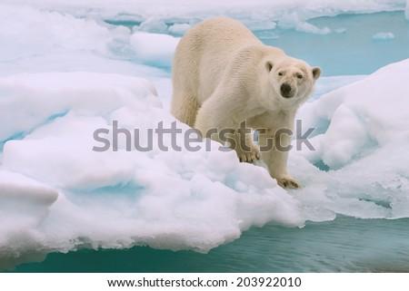 polar bear roams on melting ice floe in arctic sea above svalbard norway - stock photo