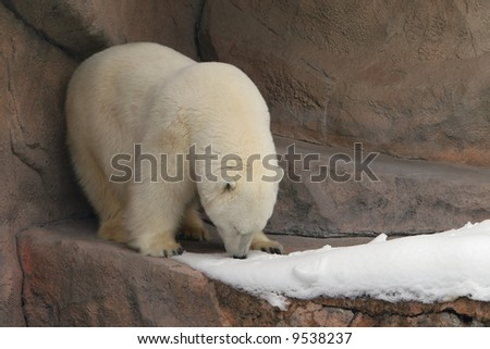 Polar Bear Rolling Around in the Snow - stock photo