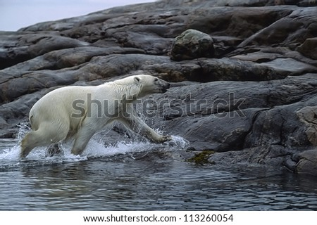 Polar bear running from sea.Wager Bay,Canadian Arctic - stock photo