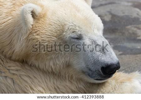Polar Bear series - Closeup - Schoenbrunn Tiergarten - stock photo