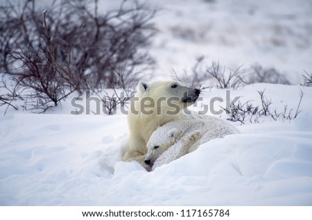 Polar bear shelters her cub during snow storm - stock photo