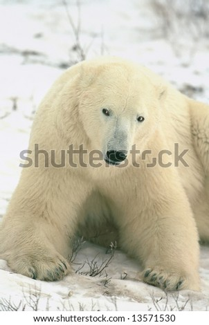 polar bear sitting in tundra snow, churchill canada (non-captive) - stock photo