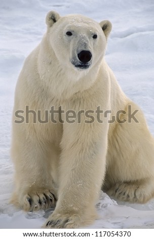 Polar bear sitting on tundra,Photographed in the Canadian Arctic. - stock photo