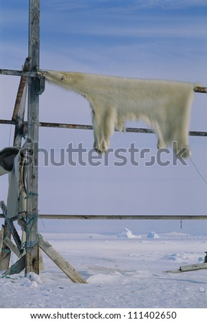 Polar bear skin drying outside - stock photo
