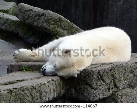 Polar bear sleeping. - stock photo