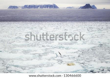 Polar bear sleeping - stock photo