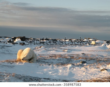 Polar bear sleeping: Churchill, Manitoba