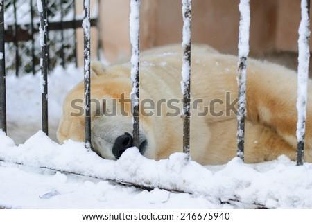 Polar bear sleeping in a cage winter - stock photo