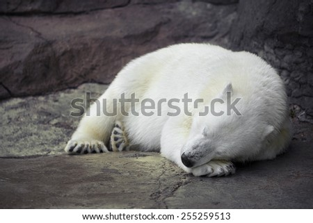 Polar bear sleeping on the concrete floor in the Moscow zoo