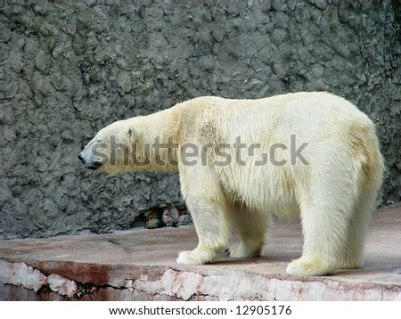 Polar bear standing at side view
