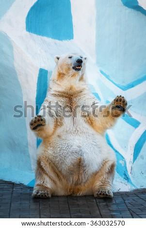 Polar bear standing on its hind legs.dancing - stock photo