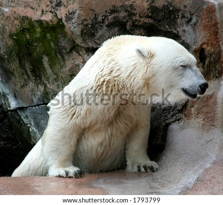 Polar Bear straining to lift himself out of the water - stock photo
