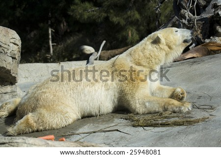 Polar Bear Stretching While Laying Down - stock photo