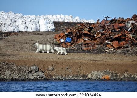 Polar bear survival in Arctic â?? pollution problems - stock photo
